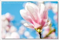 Gorgeous Magnolia Spring (:: Igor Borisenko Photography ::) Tags: flowers blue sky flower tree spring colorful soft dof bright bokeh vivid sigma sunny pa magnolia 28 blooms effect allrightsreserved orton blooming pennsylania hbw nikond90 igorborisenkophotography