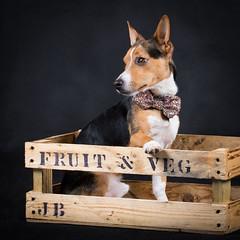 Jack Jack (ToriAndrewsPhotography) Tags: jack beagle russell stunt dog pet portrait tori andrews photography