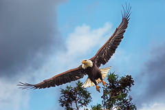 Bald Eagle taking off (Alex T Sam) Tags: bald eagle mating taking off wings span wildlife photography
