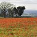 Poppies_10