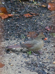 Super Crop of Female or Young Male Cardinal