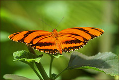 Julia Longwing Butterfly (Foto Martien) Tags: france colour macro beautiful closeup butterfly insect wings frankreich colorfull butterflies insects exotic papillon alsace frankrijk makro mariposa coloured schmetterling vlinder kleurrijk papillons elsas kleuren polychrome elzas butterflygarden bont hautrhin veelkleurig hunawihr vlindertuin kleurig sonya100 sonyalpha100 theunforgettablepictures jardindespapillons saariysqualitypictures martienuiterweerd martienarnhem minoltamacro100mm28