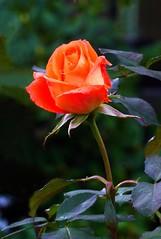 November Rose (Claude@Munich) Tags: november orange flower macro green rose germany garden bayern bavaria oberbayern upperbavaria rosa grn garten rosaceae rosenblte claudemunich gardenrose edelrose rosengewchs ilroseto gartenrose