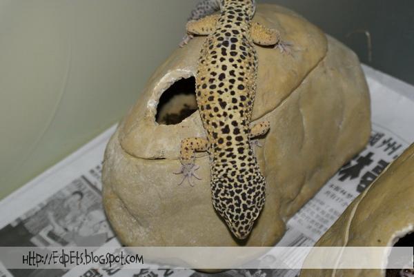 06_Leopard gecko 2009