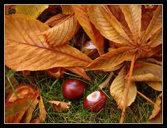 Otoo en Sderhamn. (afc07) Tags: park parque autumn leaves hojas sweden otoo sverige castaas hst suecia marrn hojassecas sderhamn afc07 castanie