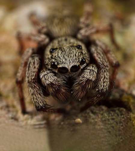 it's always good to look close 16 - Hairy Gray Spider