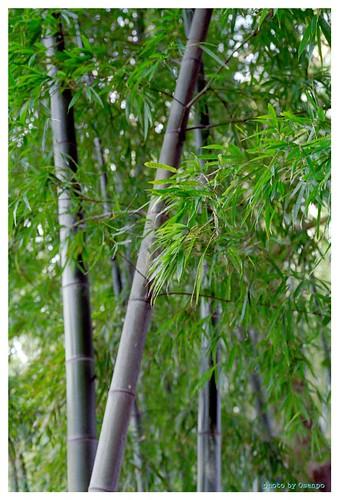 Bamboo 100114 #01