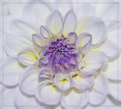 Dahlia #77 (d.teil) Tags: park dahlia summer flower color macro berlin green up square nikon close blossom bokeh pflanze blumen grn dalie macros blume squared autmn britz dahlie dteil dhalie