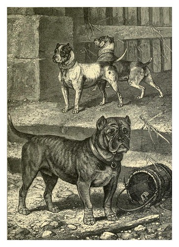 001-Bull Terrier Cross-The illustrated book of the dog 1881- Vero Kemball Shaw