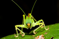 Unknown Grasshopper (not too shabby) Tags: trip travel vacation holiday macro trek canon insect ecuador eyes amazon rainforest lodge jungle grasshopper 60mm hopper nottooshabby bataburo