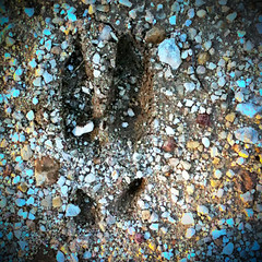 Feral hog track