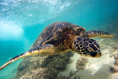 Flight School (© KristoforG) Tags: ocean life sea shells green beach water animal hawaii marine aqua pacific oahu turtle north shore hawaiian fin flipper protected aumakua