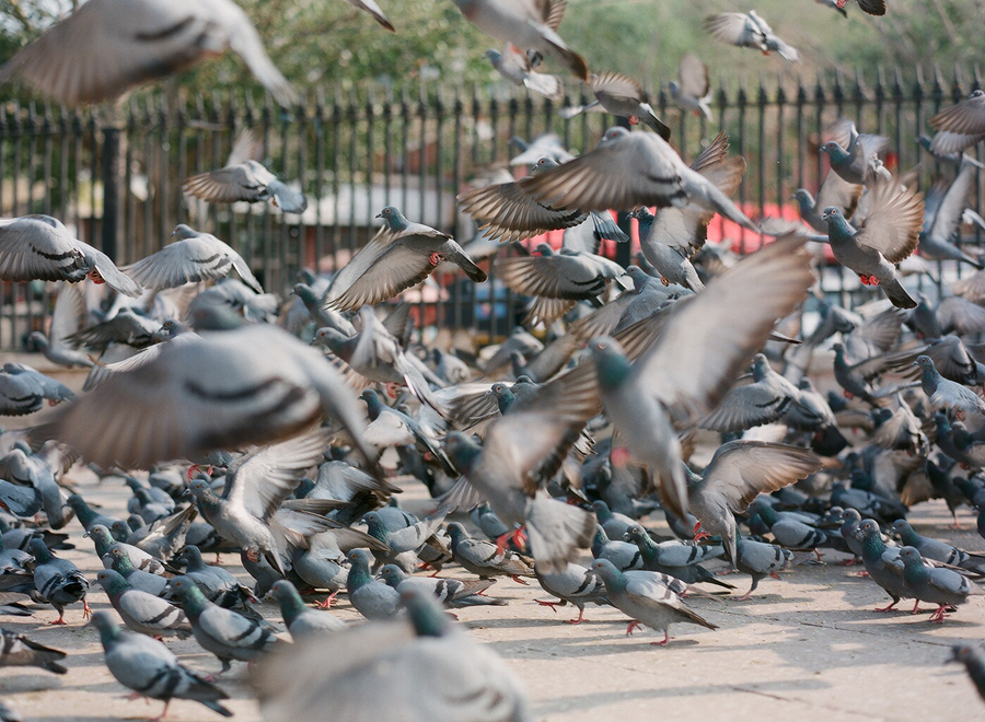 pigeons in india