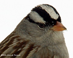 _White-Crowned Sparrow portrait 3898.JPG.xcf by Norm Townsend