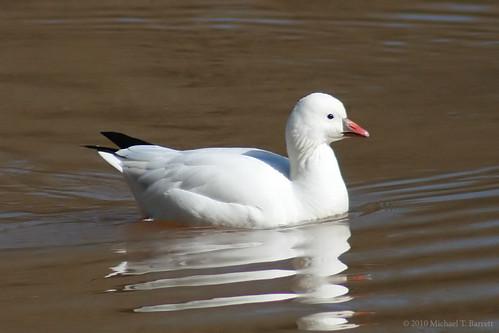 Ross's Goose (1)
