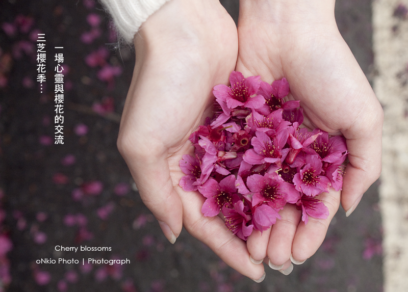 2010 - 三芝櫻花季