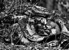 'Chameleon' Squirrel... (Chris H#) Tags: trees blackandwhite bw nature leaves woods squirrel bedfordshire bark camouflage silverbirch bushytail s3000 ampthill chameleonlike nikond5000 greysquirrelbnikond5000