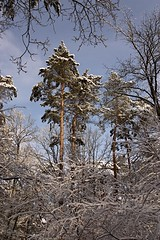 winter forest (2)