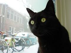 Lola (indigo_jones) Tags: snow holland window netherlands cat blackcat kat utrecht sneeuw lola nederland bicycles fietsen raam