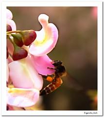 Holding on to Food!! (Yogendra174) Tags: india nature canon insect earth bee maharashtra naturalbeauty mothernature joshi natureatitsbest marathi yogendra canonrebelxs canon1000d