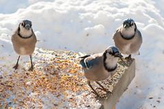 We're from the Government.  We're here to help. (nosha) Tags: blue winter usa bird nature beautiful beauty birds newjersey jay nj bluejay mercer february avian mercercounty 2010 lightroom f63 200mm blackmagic nosha 80200mmf28 1200sec nikond300 1200secatf63