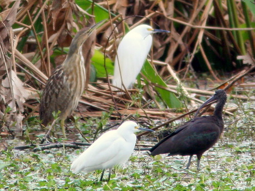 American Bittern with Heron and Ibis 20100215