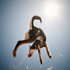 8/52 (Clicking Mad) Tags: dog sun ball jump jamie flare catch mixedbreed gsd kelpie 52weeksfordogs sheappearstobemissingaleglol