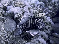 Pez León Común (Pterois Miles) (FRosselot) Tags: redsea scubadiving buceo marrojo