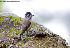 Ochraceous Piculet - Picumnus limae