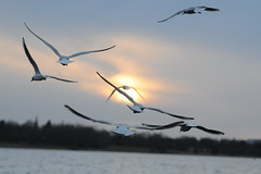pennington flash (Daz /SWAN MAN) Tags: sunset sky water birds gulls flash flight 1001nights pennington 100commentgroup