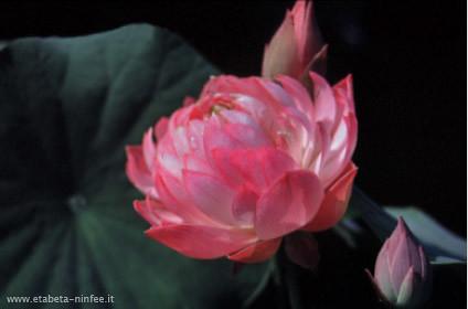 Nelumbo 'Tao Hong Su Yu'   (rosso, doppio)