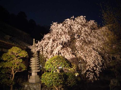 専称寺(夜桜)@香芝市-09