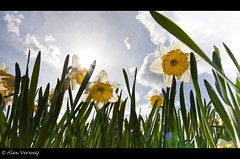 Narcissen in the sun.... (Alex Verweij) Tags: sun yellow clouds canon wolken explore geel wit zon 1022mm flevoland narcis tegenlicht narcissen 40d theunforgettablepictures alexverweij updatecollection