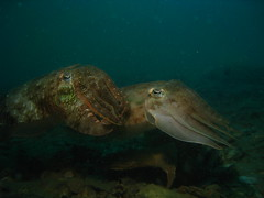 Pair of Cuttlefish at Sugar Wreck