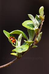 Ladybug (t.sullivan photography) Tags: bug spring ladybird ladybug coccinellidae naturesfinest