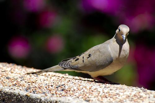 Ugly Pigeon