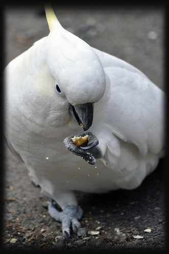 Cocky enjoying a biscuit