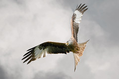 Red Kite Changing Direction (Gareth Scanlon) Tags: uk red sky orange white kite milan bird eye wales clouds ads ed rouge nikon carmarthenshire 14 boda flight feather 300mm tc if pro prey f3 300 nikkor brecon beacons gareth scanlon teleconverter dgs soar 1x primaries glide milvus milvusmilvus kenko barcud rotmilan brynamman d300s garethscanlon wennol