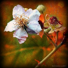 Zarzamora / Blackberry (Alfredo Barros G  ) Tags: naturaleza flower textura nature blackberry flor 1001nights silva fiatlux zarzamora photoshopcreativo lamisticadelastexturas themysticofthetextures opticaleica panasonicdmcfz45