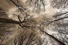 ALLER PLUS HAUT (GillesAdrien) Tags: nikon france forêt forêtdorléans blackandwhite arbre arbres trees nature loiret centre