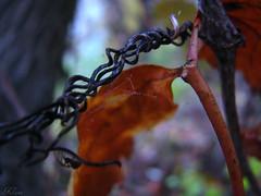 Morire un p (//Karri) Tags: wood autumn fall spider leaf foglia autunno rugiada legno ragno gocce ragnatela umidit