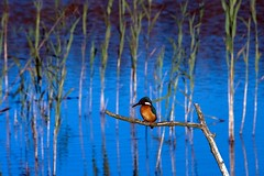 Kingfisher (royksuk) Tags: bird norfolk kingfisher fakenham coth sculthorpemoor anawesomeshot rubyphotographer