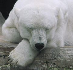 Just got through eating Goldilocks and settled in for that long nap! (ucumari) Tags: philadelphia june pennsylvania polarbear 2009 philadelphiazoo ursusmaritimus specanimal ucumariphotography