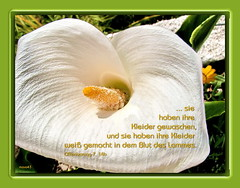 Reinheit / Cleanness (Martin Volpert) Tags: flower fleur blossom faith jesus flor blossoms blumen bible christianity blume fiore bibel biblia glaube bijbel glauben christentum jesuschristus bibelvers  bibelverskarte mavo43 offenbarung714