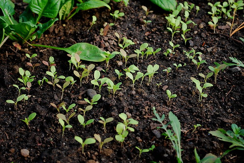 lettuce mix seedlings