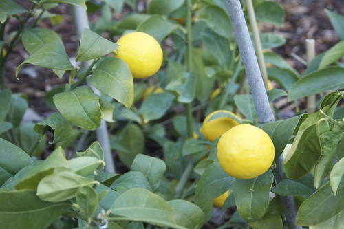 Improved Meyer Lemons