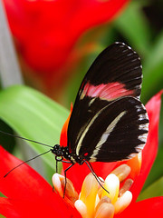 "Tropical butterflies at Knokke butterfly center : Heliconius  melpomene, the ""Postman"". (henk.wallays) Tags: butterfly belgium butterflies center lepidoptera papillon inseto knokke borboleta tropical mariposa mariposas farfalla postman vlinder melpomene 蝶 motyl heliconius lepidotteri dagvlinder"