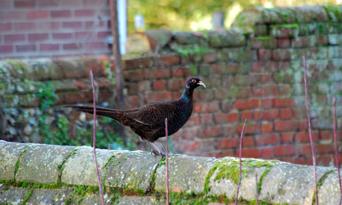 Melanistic Common Pheasant