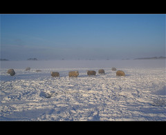sheep and mist........ (atsjebosma) Tags: winter sun mist snow cold fog sheep sneeuw thenetherlands explore wintertime zon friesland atsjebosma januari2010 schapenindemist