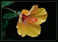 Yellow Hibiscus - Aloalo (TT_MAC) Tags: friends blossom maui hibiscus malvaceae naturesfinest hawaiistateflower yellowhibiscus fantasticflower